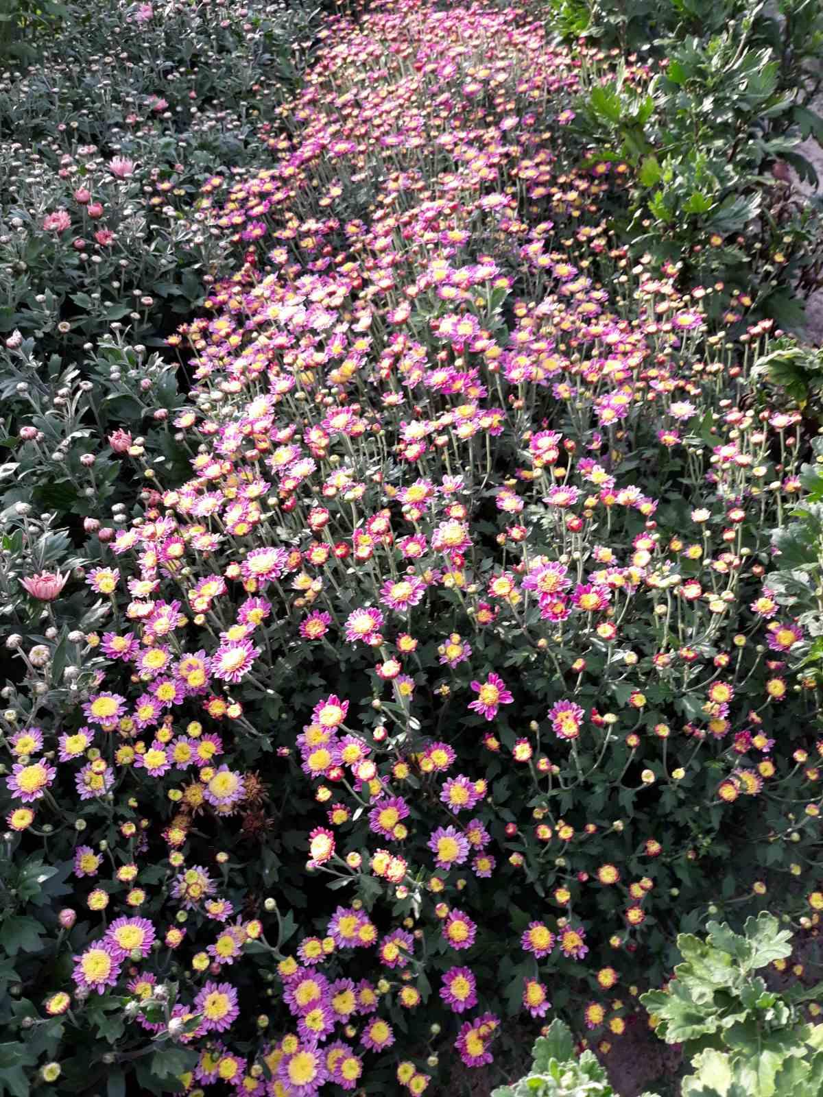 Бал хризантем превратили в туристическую локацию в общине на Херсонщине