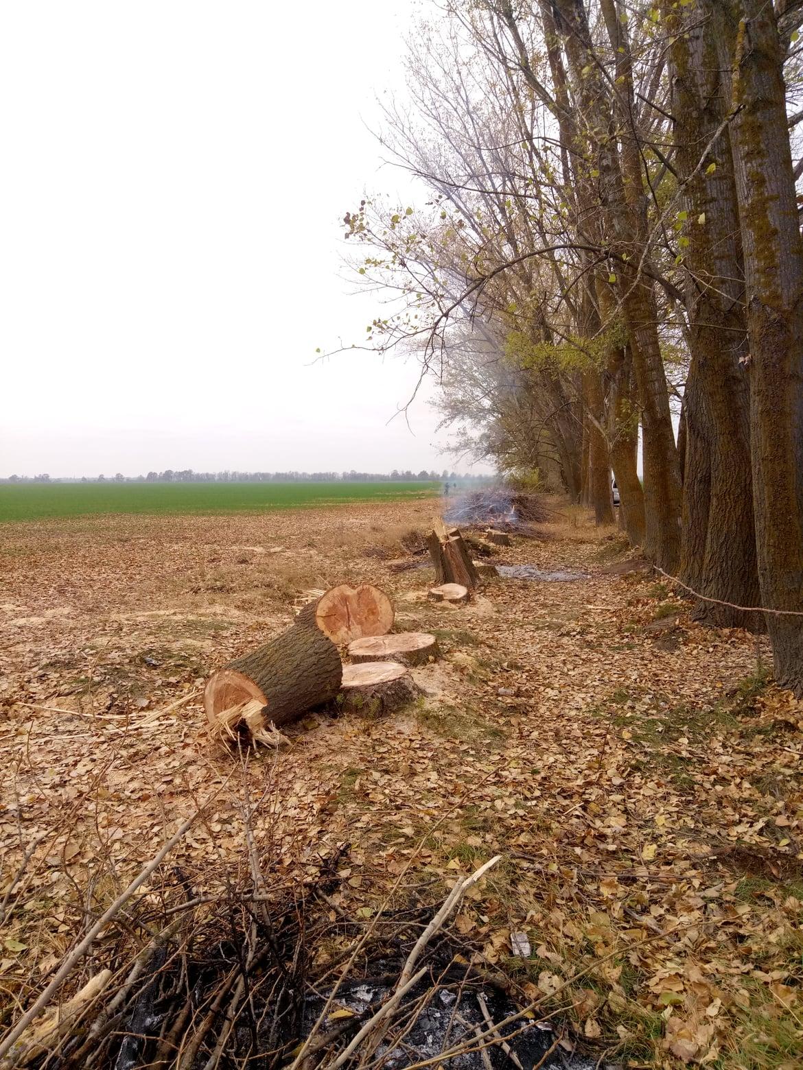 """На Херсонщине """"черные лесорубы"""" нарубили тополей на полмиллиона гривен"""