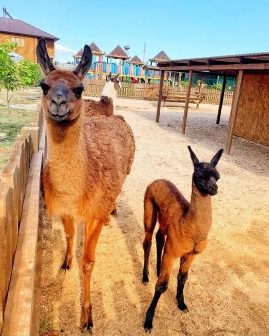 Співробітники сафарі-парку врятували ламу з дитинчам