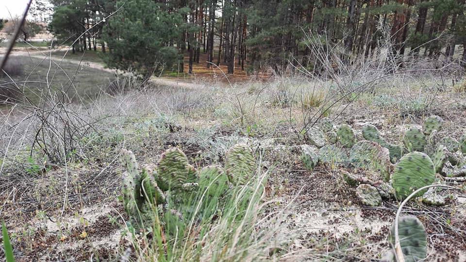 В лесу на Херсонщине прижились кактусы